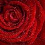 Rose Wirkung ätherisches Öl