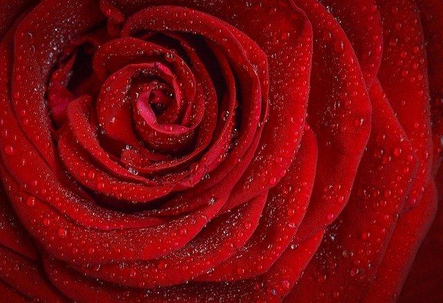 Wirkung der Rose als ätherisches Öl